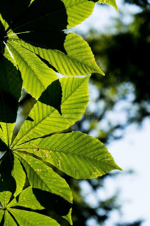Зеленые листья закрывают вверх с солнечным светом стоковые изображения