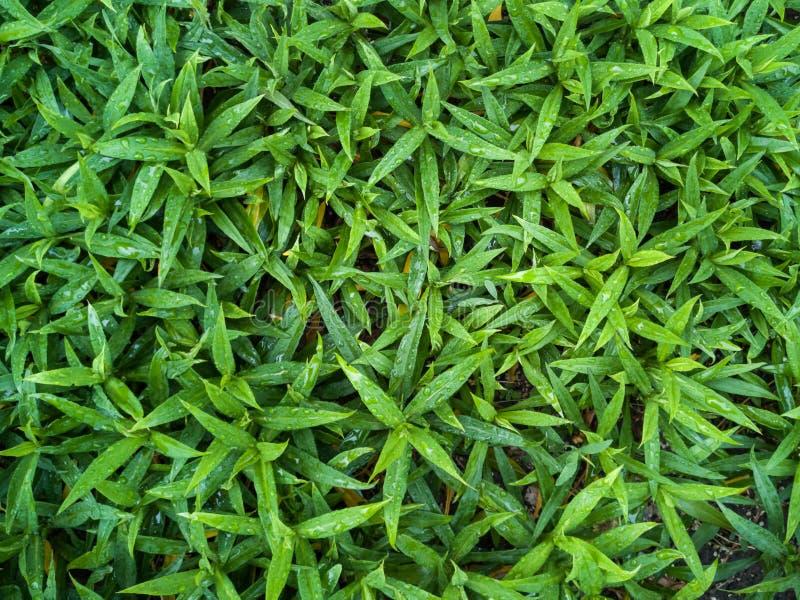 Зеленые листья или предпосылка стены дерева куста стоковое изображение