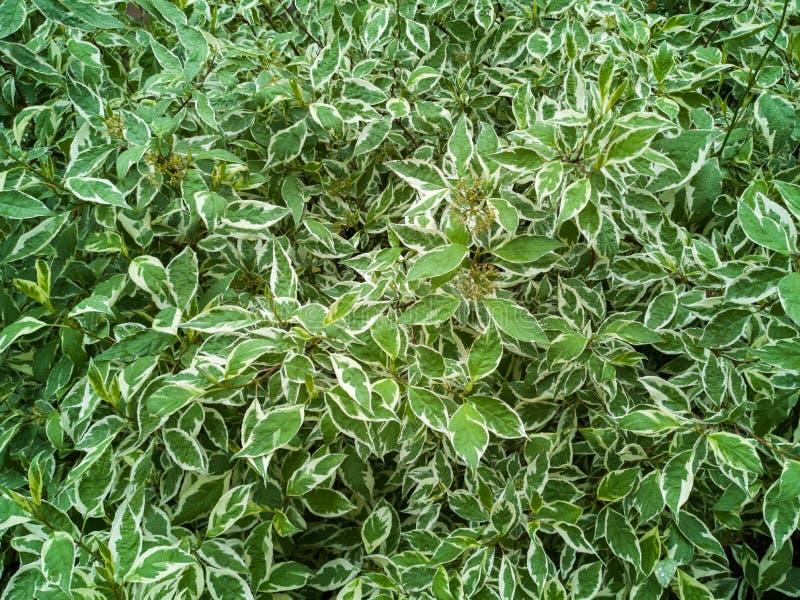 Зеленые листья или предпосылка стены дерева куста стоковая фотография rf