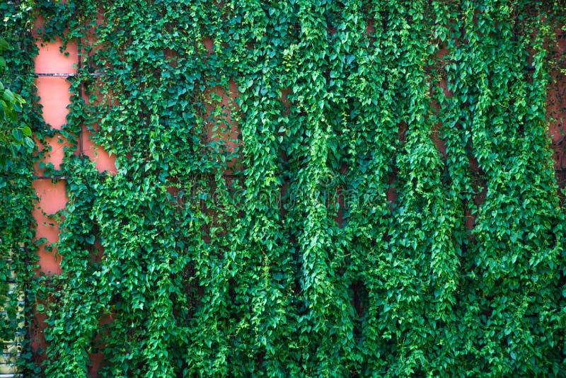 Зеленые листья картина & текстура вертикальных заводов стоковые фотографии rf