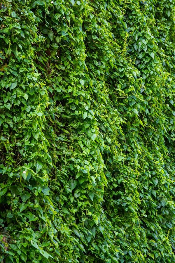Зеленые листья картина & текстура вертикальных заводов стоковое фото