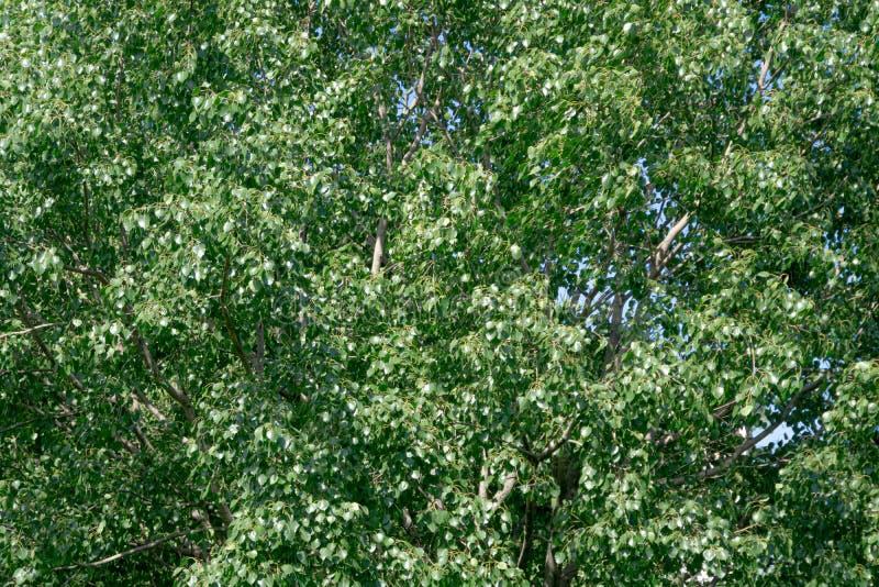Зеленые листья картина & текстура стоящего тимберса стоковые фотографии rf