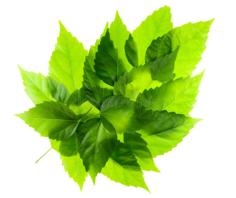 зеленые листья листьев стоковая фотография