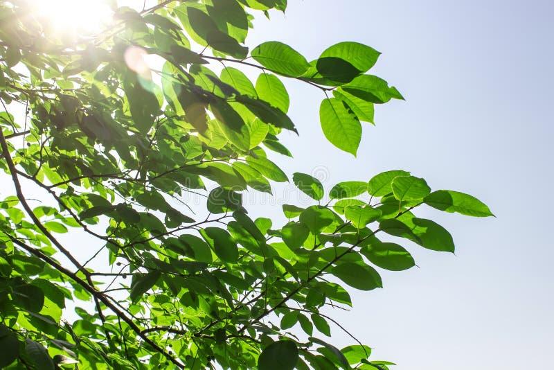 зеленые листья на предпосылке голубого неба стоковая фотография rf