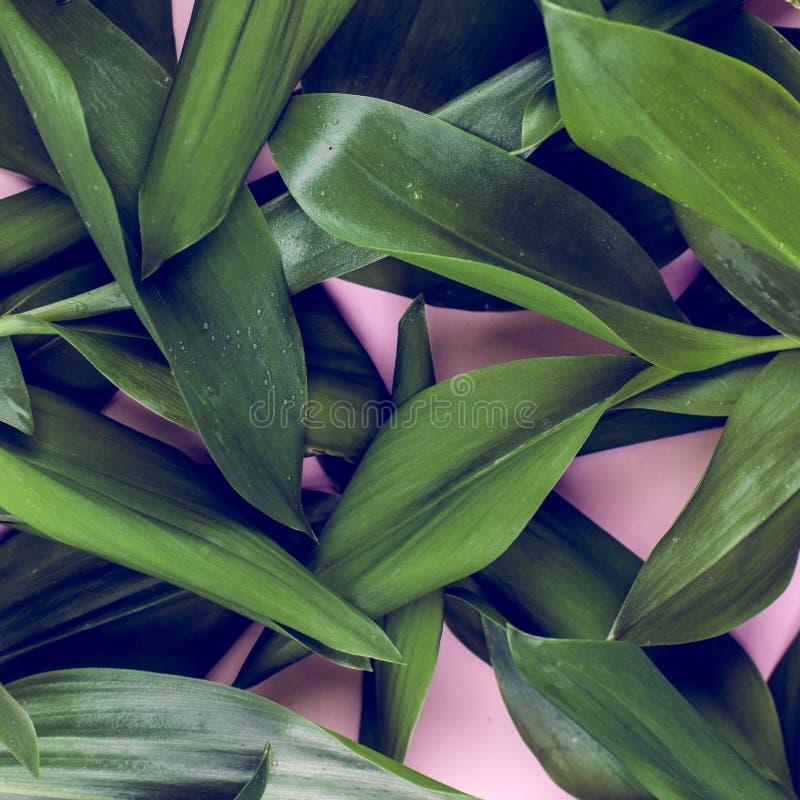 Зеленые листья на розовой предпосылке Плоское положение, верхняя часть, взгляд, напористая пастель, тон дуо стоковые фотографии rf