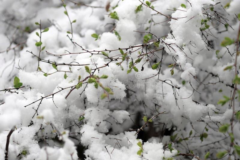 Зеленые листья под предыдущим снегом стоковые изображения