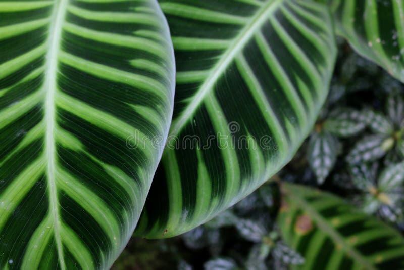 Зеленые листья с белыми структурами в экзотической установке джунглей стоковая фотография
