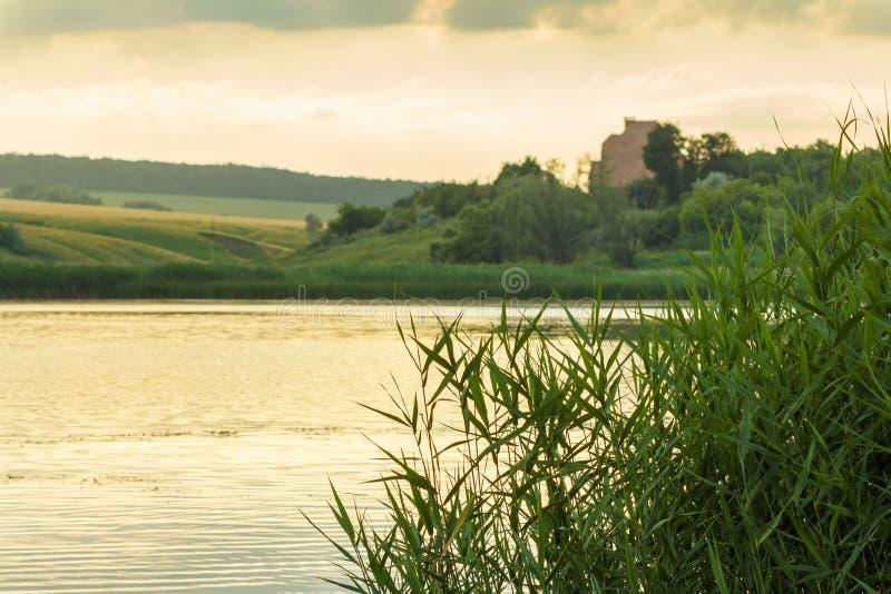 Зеленые листья тростников на реке предпосылка берега стоковые фото