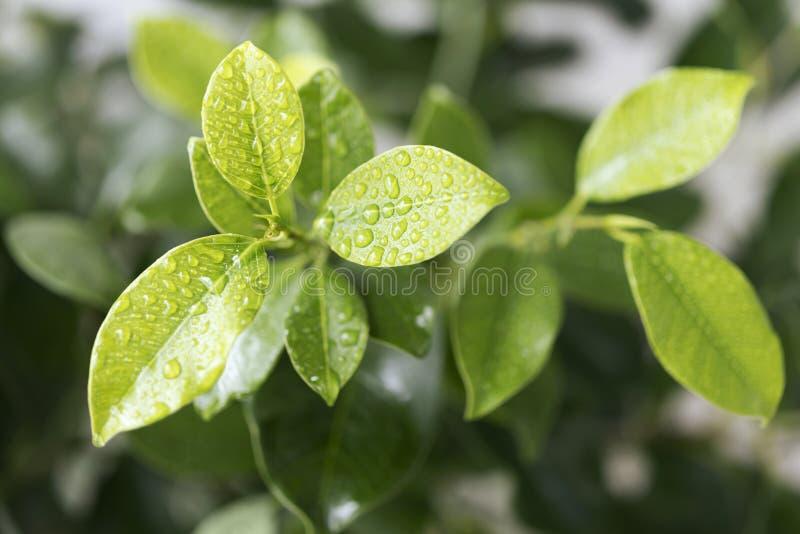 Зеленые листья фикуса с падениями воды стоковые изображения