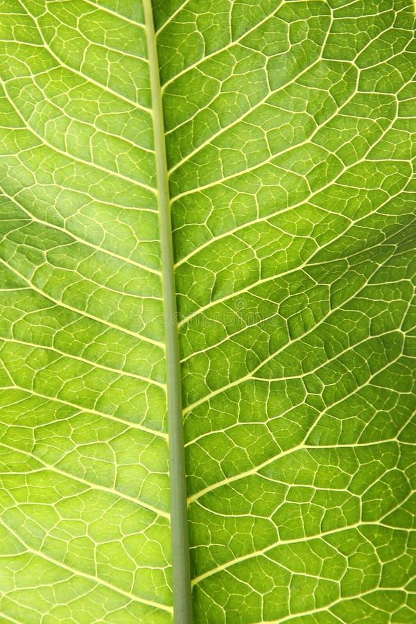 зеленые листья хрена стоковые изображения