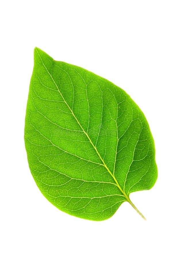 зеленые листья фото