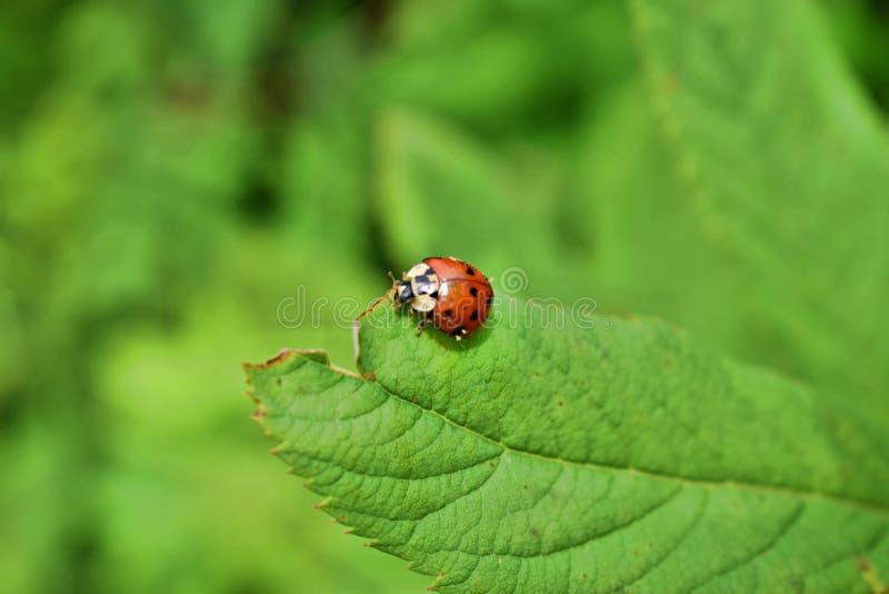 зеленые листья ladybug стоковое фото rf