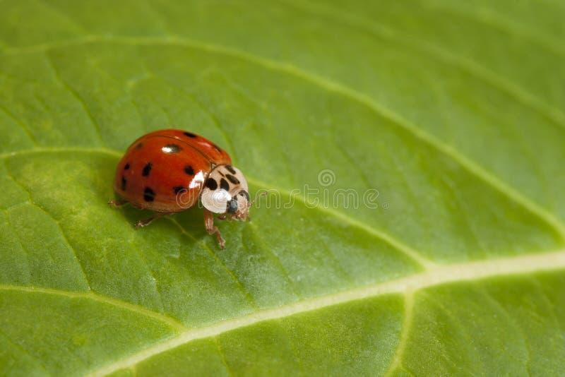 зеленые листья ladybug стоковая фотография rf