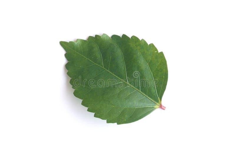 Зеленые лист гибискуса изолированного на белой предпосылке стоковая фотография