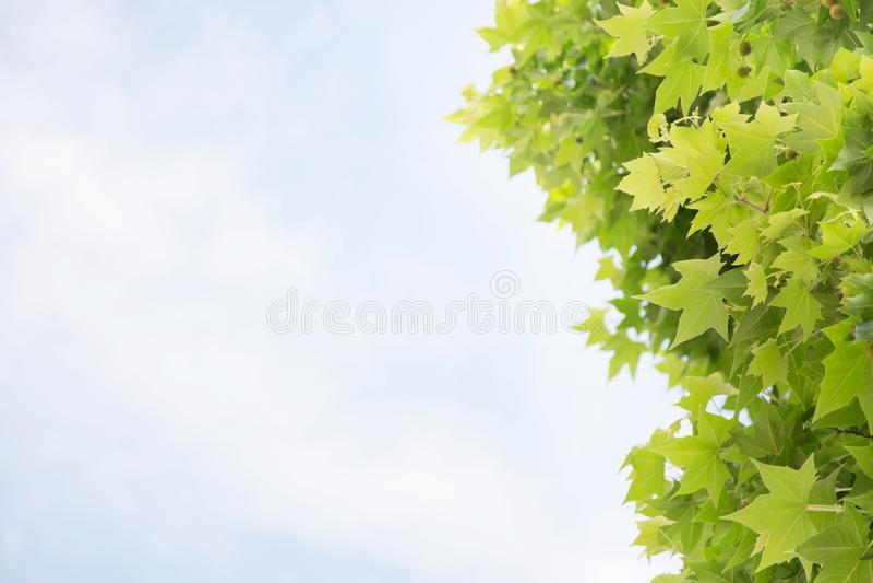 Зеленые лист дерева клена против весны голубого неба стоковая фотография rf