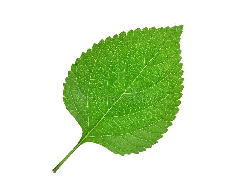 Зеленые лист изолированные на белизне стоковая фотография rf