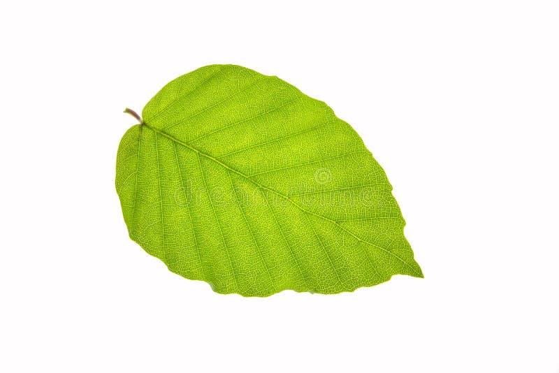 Зеленые лист изолированные на белой предпосылке - макросе, конце вверх, textu стоковая фотография