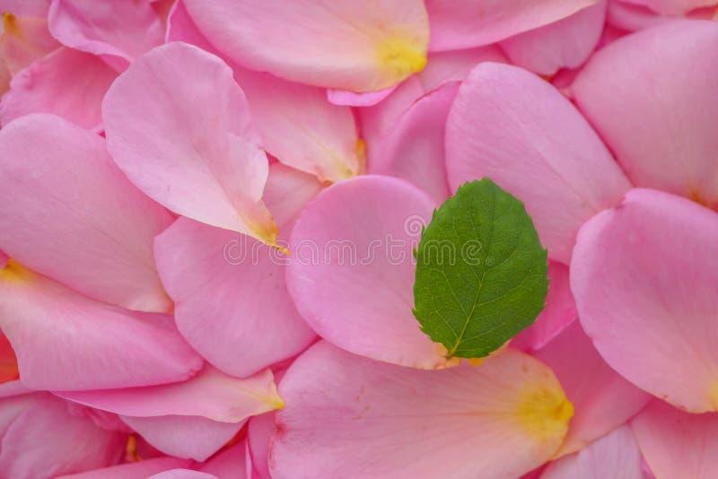 Зеленые лист на красивых розовых лепестках розы на день Святого Валентина стоковая фотография