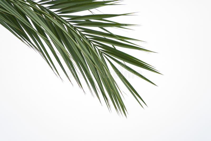 Зеленые лист пальмы изолированные на белой предпосылке Взгляд сверху от угла для того чтобы центризовать космос экземпляра на лет стоковая фотография rf