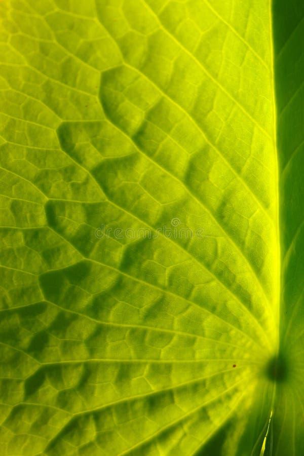 Зеленые лист предпосылки лотоса сфокусируйте мягко стоковые изображения rf