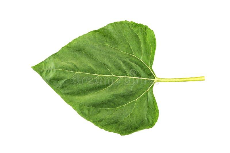 Зеленые лист солнцецвета изолированные на белизне стоковые изображения