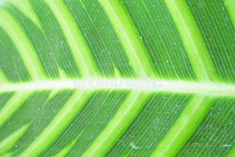 Зеленые лист с белой прокладкой стоковые фотографии rf