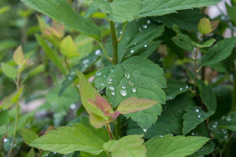 Зеленые лист с падениями воды стоковые изображения