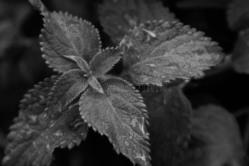 Зеленые лист с падениями дождевой воды Черно-белая версия стоковое изображение rf
