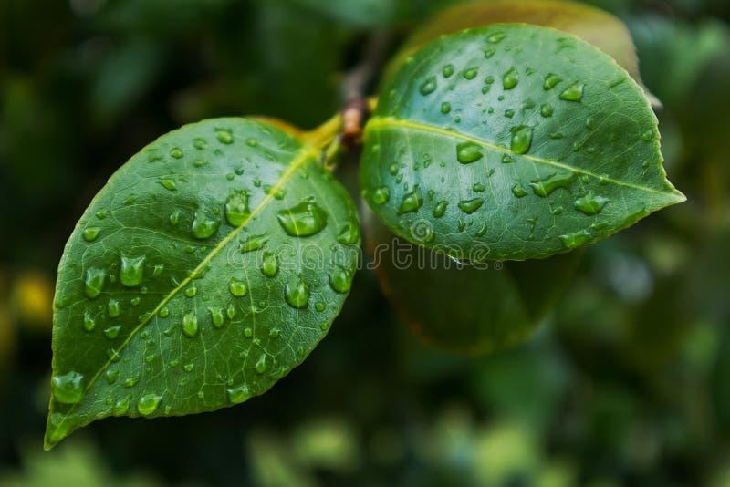 Зеленые лист с падениями дождевой воды стоковое изображение rf
