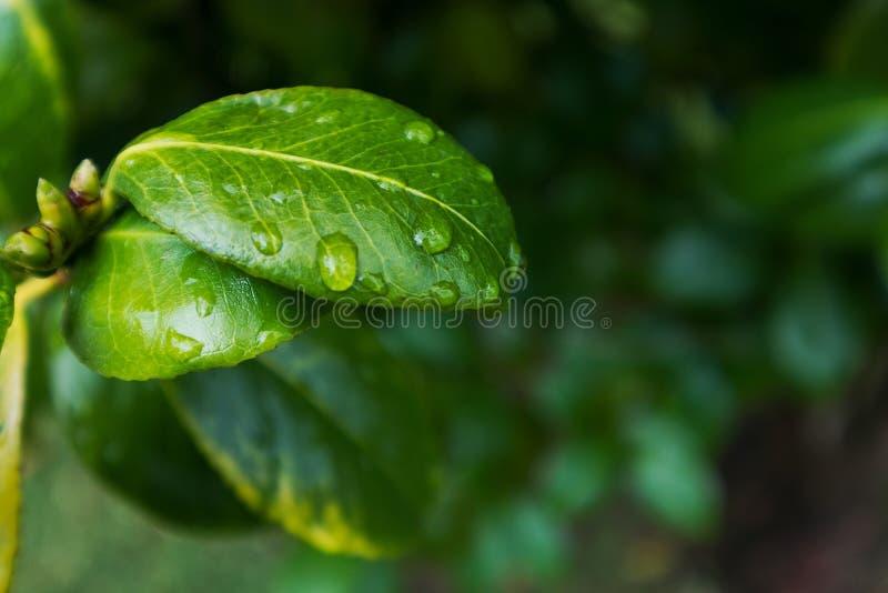 Зеленые лист с падениями дождевой воды стоковые изображения
