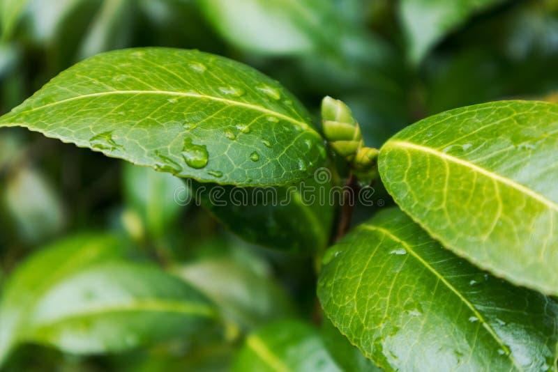 Зеленые лист с падениями дождевой воды стоковое фото