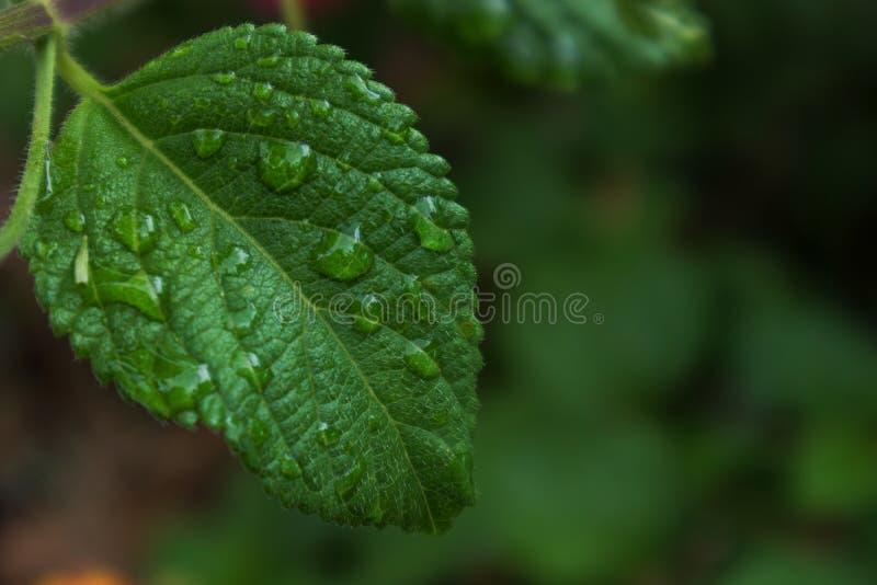 Зеленые лист с падениями дождевой воды стоковое фото rf
