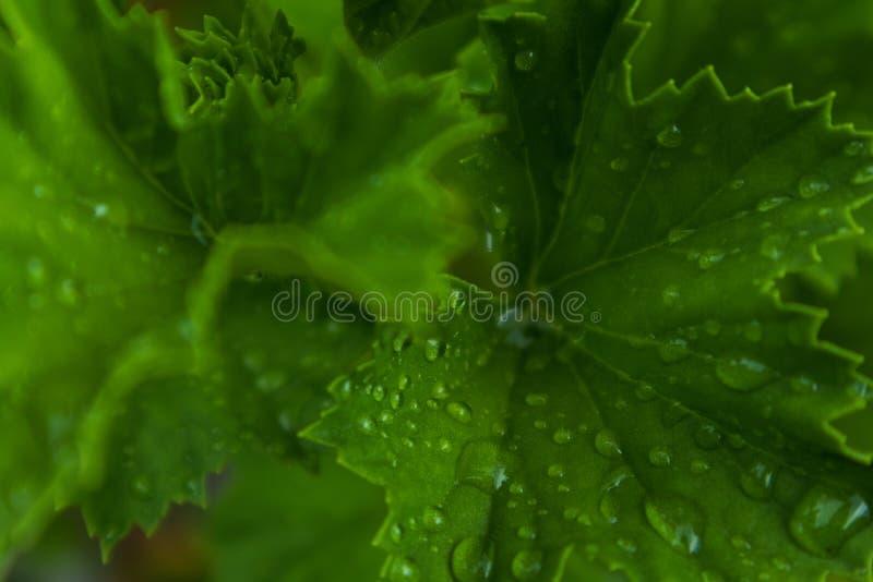 Зеленые лист с падениями дождевой воды стоковое изображение