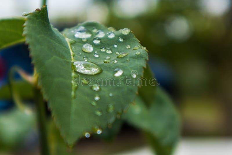 Зеленые лист с падениями дождевой воды стоковая фотография rf