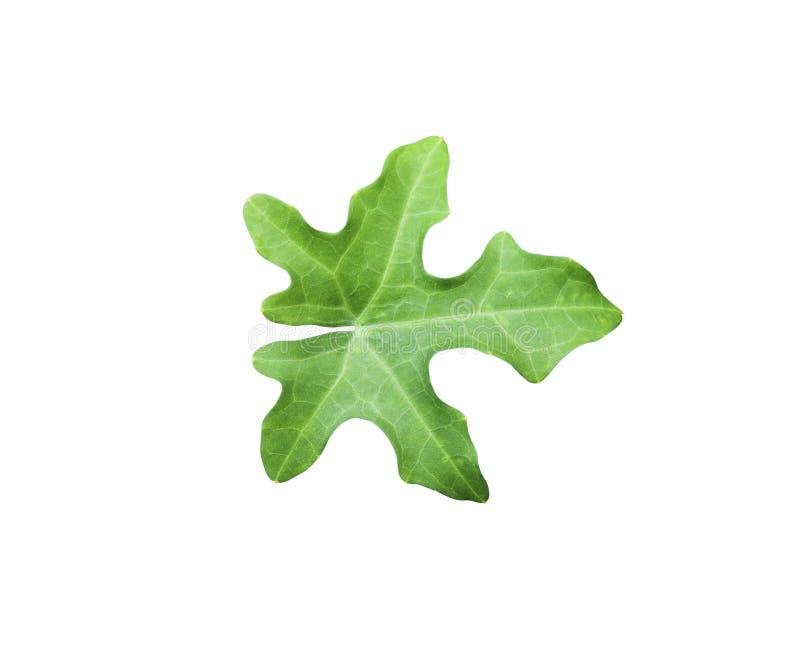 Зеленые лист тыквы плюща изолированные на белизне стоковые фотографии rf