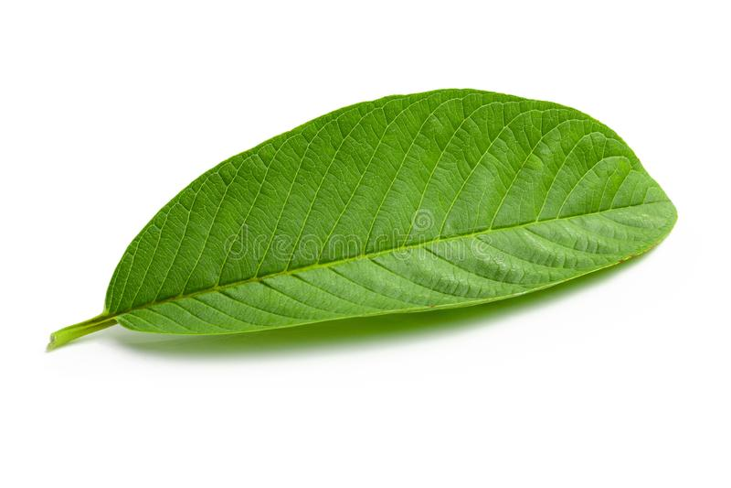 Зеленые лист Guava изолированные над белой предпосылкой стоковые изображения