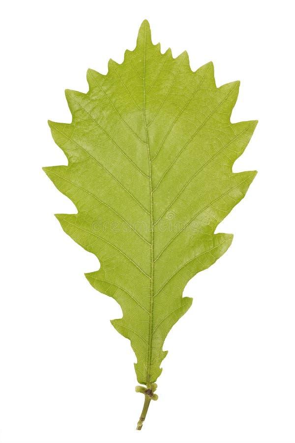 Зеленые лист monolian дуба или mongolica Quercus изолированные на белой предпосылке стоковое изображение rf