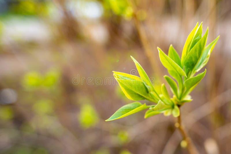 Зеленые молодые лист весны стоковое изображение rf