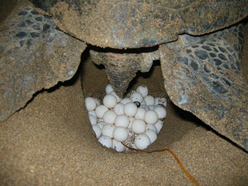 Зеленые морские черепахи на женщине пляжа кладя яйцо стоковая фотография rf