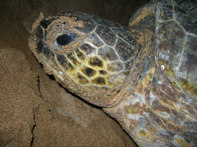 Зеленые морские черепахи на женщине пляжа кладя яйцо, сторону черепахи стоковое изображение