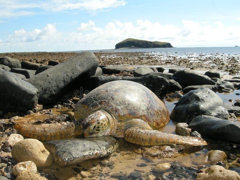 Зеленые морские черепахи на пляже стоковая фотография rf