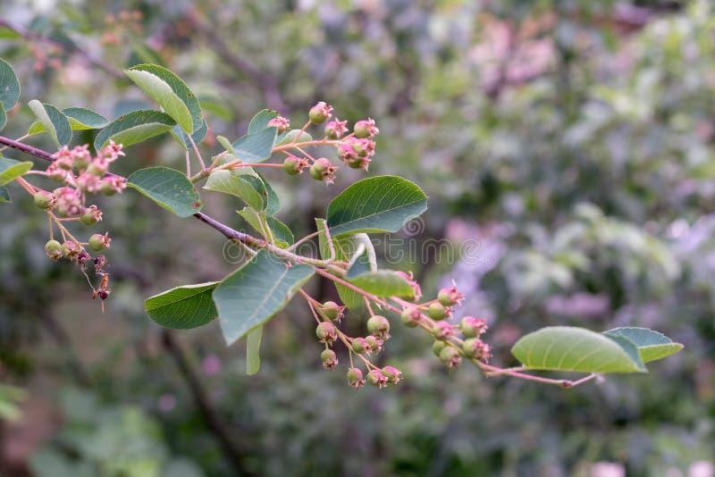 Зеленые, неполовозрелые ягоды irgi в середине июня стоковые фотографии rf
