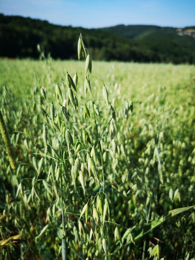 Зеленые овсы завод и поле с лесом и голубым небом стоковые изображения rf