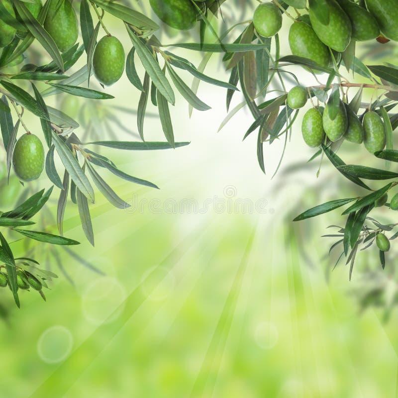 Зеленые оливки и листья оливкового дерева стоковая фотография rf