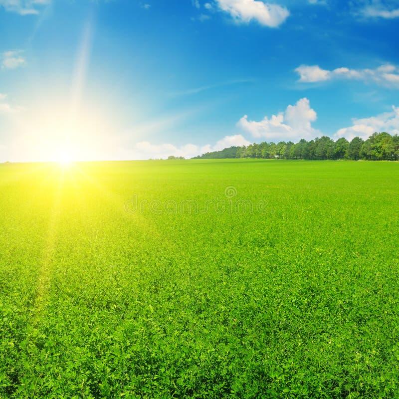 Зеленые поле и солнце поднимают в голубое небо стоковое фото