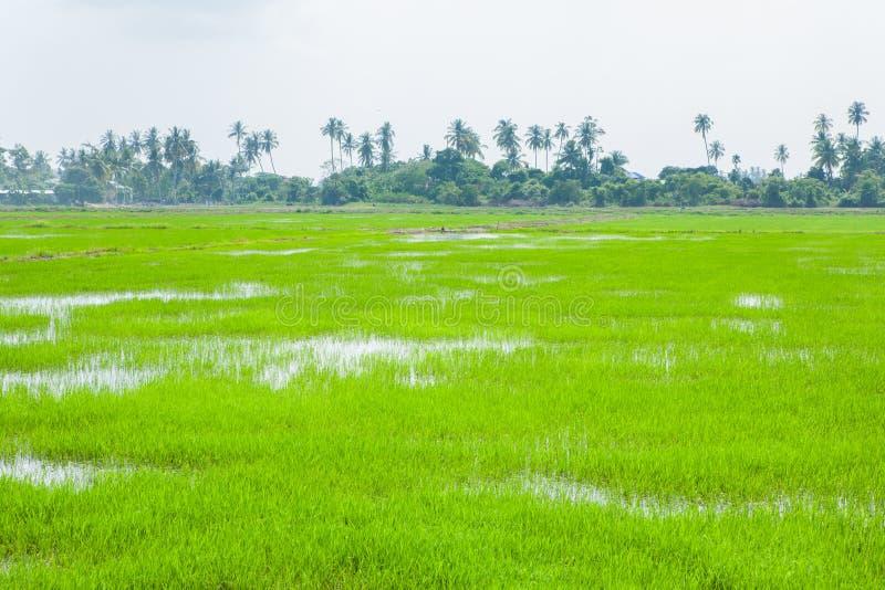 Зеленые поля в Pulau Pinang стоковые фотографии rf