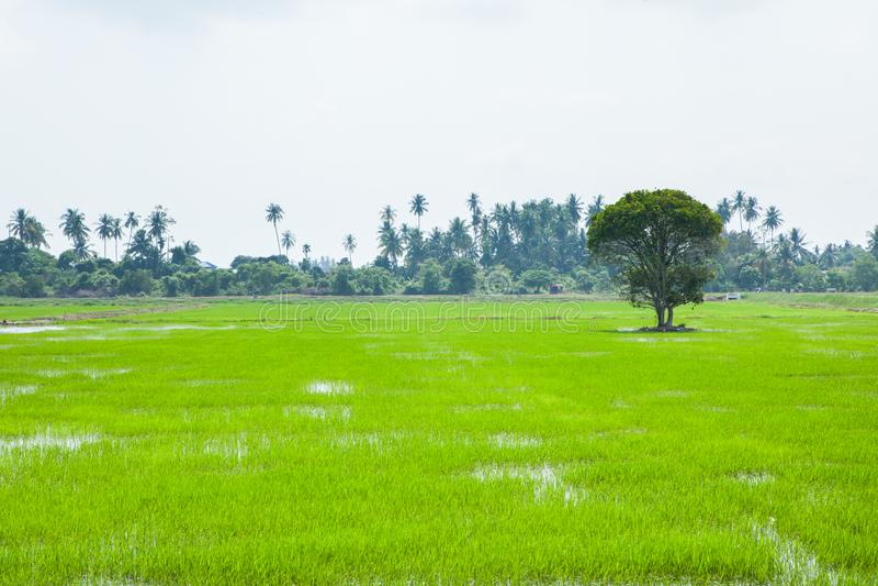 Зеленые поля в Pulau Pinang стоковое фото rf