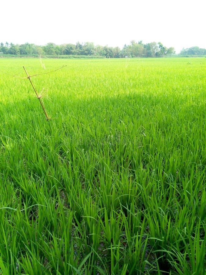 Зеленые поля падиа стоковые фотографии rf