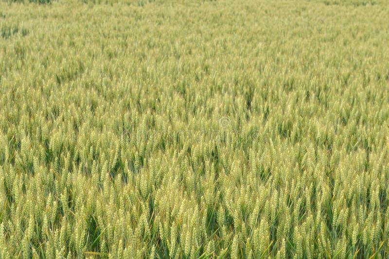 Зеленые поля пшеницы стоковые фото