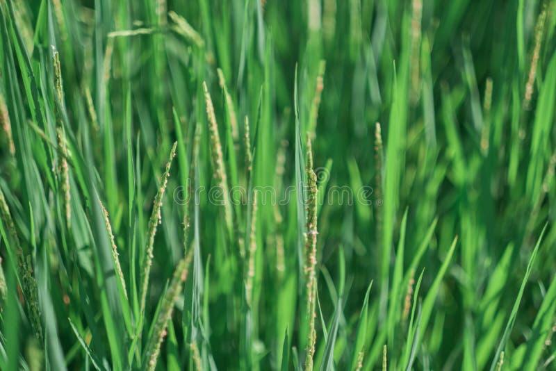 Зеленые поля риса в сельских полях риса Таиланда стоковое изображение